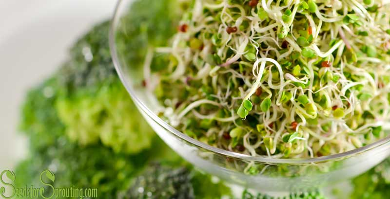 Broccoli Sprouts – The Powerful Health Benefits of Sprouted Broccoli Seeds